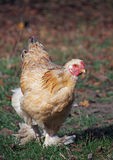 Young brahma hen on green grass Stock Photo