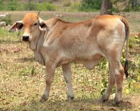 Young brahman calf for beef cattle Royalty Free Stock Photo