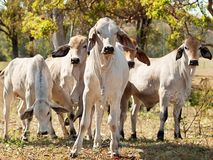 Young Brahman herd on ranch Australian beef cattle Stock Photography