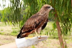 Young brahminy kite stock photo