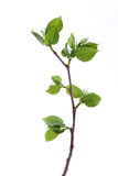 Young branch Royalty Free Stock Image