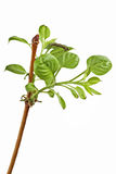 Young branch Royalty Free Stock Photography