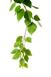 Young branch of birch with buds and leaves Royalty Free Stock Image