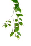 Young branch of birch with buds and leaves Stock Images