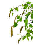 Young branch of birch with buds and leaves ,  isolated Royalty Free Stock Images