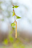 Young branch of birch with buds and leaves Stock Photography