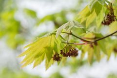 Acer japonicum. A species of maple native to Japan. Young branch and blossoms of the Acer japonicum. A species of maple native to Japan. Amur maple, downy Royalty Free Stock Photo