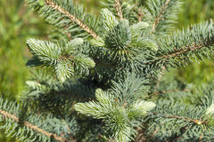 Young branch of the blue spruce Royalty Free Stock Image