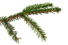 Young branch of coniferous tree Oriental spruce, also called Caucassian spruce, latin name Picea Orientalis, white background. Natural sunlight stock photo