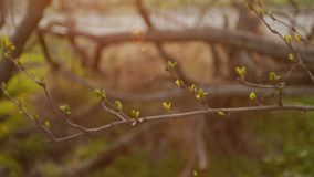 Young branch with first green leaves at spring sunset with beautiful sun flare.  stock footage