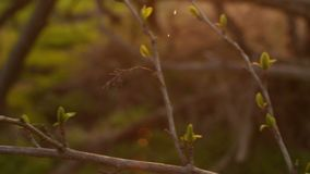 Young branch with first green leaves at spring sunset with beautiful sun flare.  stock video footage