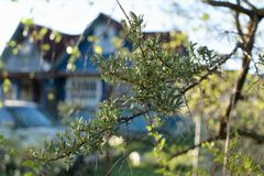 Prickly branch of sea buckthorn on a blurred background of a village house. royalty free stock images