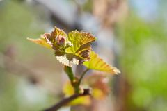 Young branch of grapes on the nature. Grapes Vines being Planted stock image