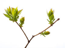 Young branch of lilac Royalty Free Stock Image
