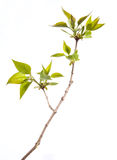 Young branch of lilac Royalty Free Stock Photo