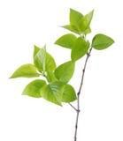 Young branch of lilac (Syringa vulgaris). Royalty Free Stock Photography
