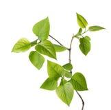 Young branch of lilac (Syringa vulgaris). Royalty Free Stock Photo