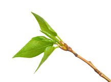 Young branch of a poplar Royalty Free Stock Image