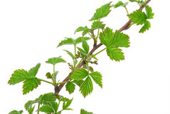 Young branch raspberries Stock Photos