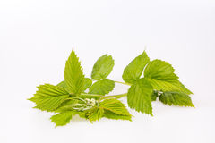 Young branch of raspberry. Branch raspberries on the white background Royalty Free Stock Images
