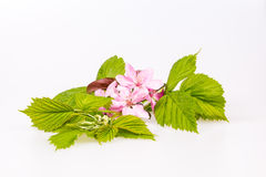 Young branch of raspberry. Branch raspberries on the white background with peach flowers Royalty Free Stock Photo