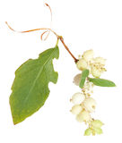 Young branch of spirea. Isolated on white Royalty Free Stock Photo