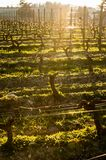 Young branch with sunlights in Bordeaux vineyards royalty free stock images
