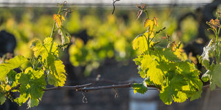 Young branch with sunlights in vineyards Royalty Free Stock Photos