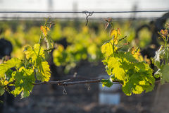 Young branch with sunlights in vineyards Royalty Free Stock Image