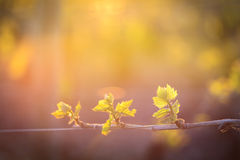 Young branch with sunlights in vineyards Royalty Free Stock Images