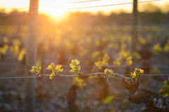 Young branch with sunlights in vineyards. Young branch of vine with sunlights in vineyards royalty free stock images