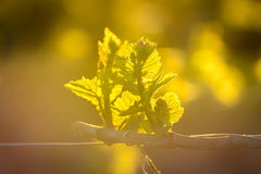 Young branch with sunlights in vineyards Royalty Free Stock Photo