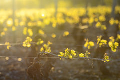 Young branch with sunlights in vineyards Stock Image