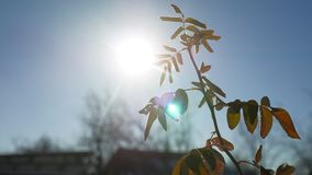 Young branch of a tree swaying in the wind sunlight silhouette glare of the sun spring morning. Young branch of a tree swaying in wind sunlight silhouette glare stock video footage