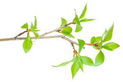 Young branch of a tree Royalty Free Stock Images