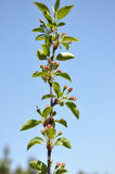 Flower buds on the apple tree. Royalty Free Stock Photography