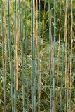Young branches of a bamboo in front of the bright green Royalty Free Stock Images
