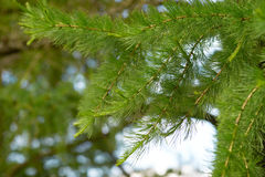 Young branches of larch. Royalty Free Stock Images