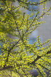 Young branches of larch in the spring Royalty Free Stock Images