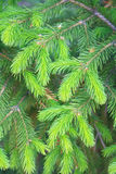 Young branches of spruce. Royalty Free Stock Photography