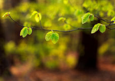 Young branches of tree with green fresh leaves in forest Royalty Free Stock Photo