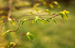 Young branches of tree with green fresh leaves Royalty Free Stock Photography