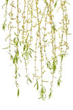 Young branches of willow with catkins on a white background. Stock Photos