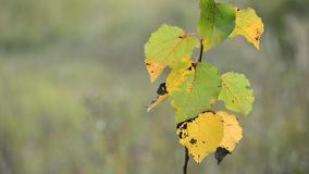 Young branches with yellow autumn leaves in wind. Young branches with yellow autumn leaves in the wind stock video footage