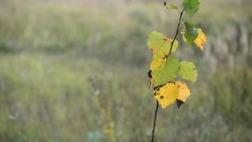 Young branches with yellow autumn leaves in wind. Young branches with yellow autumn leaves in the wind stock video
