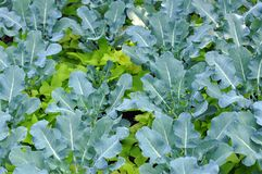 Young Brassicaceae Royalty Free Stock Images