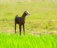 Young brawn nanny-goat standing near grass Stock Photography