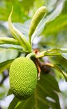 Young breadfruit scientific name: Artocarpus altilis . Young breadfruit scientific name: Artocarpus altilis raw green on the trees in the garden Stock Photos