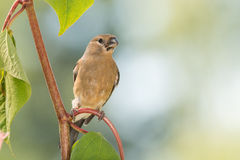 Young bright finch Stock Image