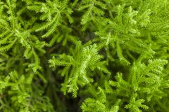 Young bright green conifer needles on a branch close up on a blurred background of a bush. A young bright green conifer needles on a branch close up on a blurred stock photos